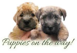 Irish Softcoated Wheaten Terrier puppies
