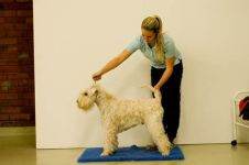 klippkurs med Ulrika Rudolph Irish softcoated wheaten terrier
